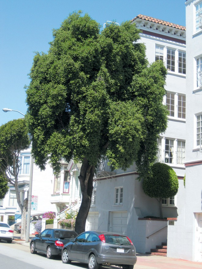 A mature specimen of soapbark tree (Quillaja saponaria) in San Francisco. Photograph by RGT