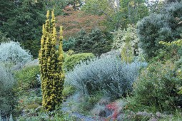The lush but dry hillside at the Elisabeth C Miller Botanical Garden; low mounded shrubs dominate, occasionally interrupted by vertical elements, such as a golden-needled Taxus baccata 'Standishii'