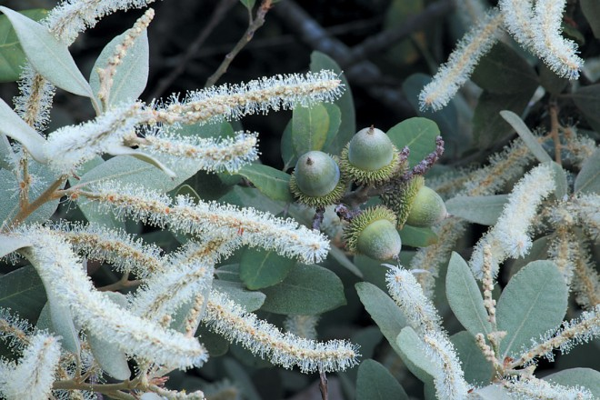 Flowers, fruits, and foliage of dwarf tanbark oak (Lithocarpus densiflora var. echinoides)