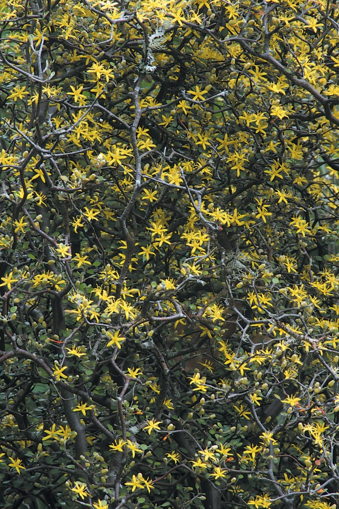 Flowers and tiny leaves in spring on Corokia cotoneaster