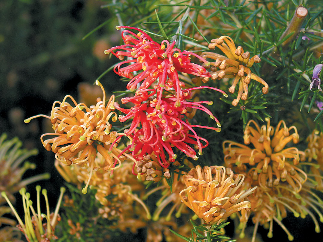 Pacific Horticulture Society | Grevilleas for the Maritime Pacific ...