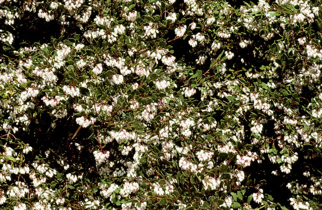 Arctostaphylos densiflora 'Howard McMinn' Photograph by Barrie Coate