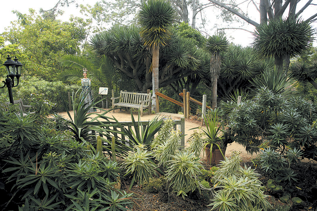 Dragon Trees (Dracaena Draco) And Various Echium Species Are Features Of  The Canary Islands