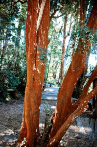 Colorfu trunks of Luma apiculata. Photograph by RGT - See more at: http://www.pacifichorticulture.org/articles/an-introduction-to-the-geography-climate-and-flora-of-chile/#sthash.M1CWZkME.dpuf