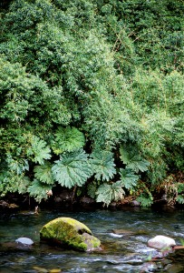 Gunnera tinctoria with the widespread bamboo, Chusquea culeou, above Photograph RGT