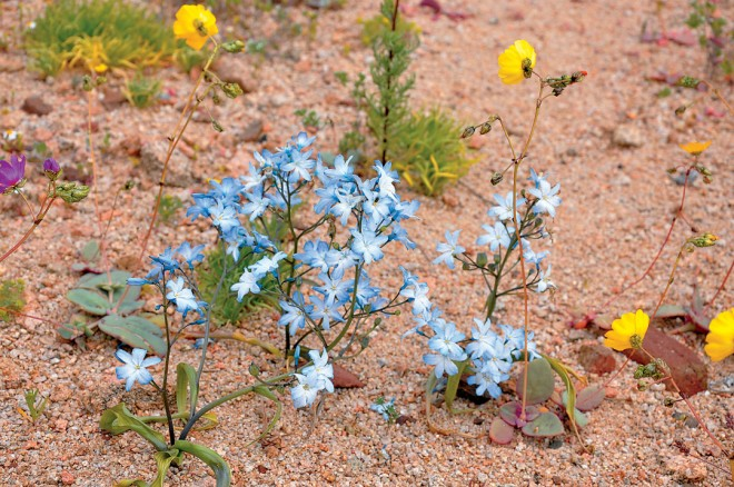 In a good year, Zephyra elegans can be seen in sheets carpeting the semi-desert of the Norte Chico Region.
