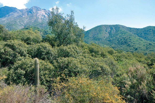 Typical Matorral in Parque Nacional La Campana, with Adesmia arborea, Colletia hystrix, Lithraea caustica, Quillaja saponaria, and Trichocereus chiloensis