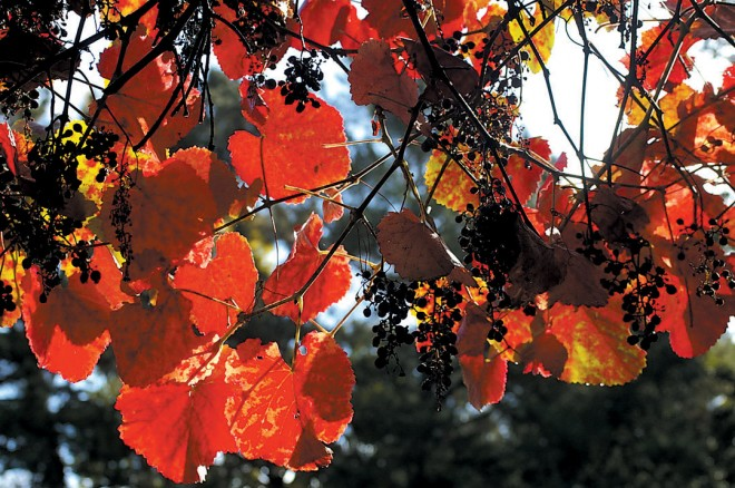 Vitis 'Roger's Red' in autumn. Photograph by Philip Van Soelen