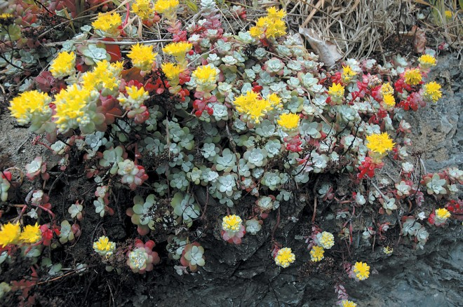 Sedum spathulifolium, a native succulent, in flower on a sea stack