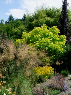 The dry border at Joy Creek Nursery featuring Stipa gigantea in the foreground against the yellow of Catalpa bignoniodes 'Aurea' and a weeping purple beech (Fagus sylvatica 'Purpurea Pendula'. Photo: Andy Stockton