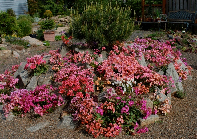 This mass planting of Lewisia cotyledon, here in full flower in May, provides a striking focal point in the Wild Ginger rock garden.
