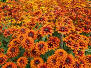 Rudbeckia hirta 'Joy Creek Select'