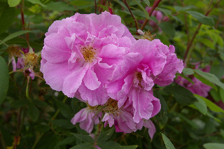 Sweet smelling rugosa roses fill the landscape with fragrance.