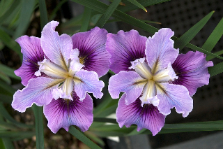 Wild Ginger Farm plans to introduce 'Wakonda', a lovely orchid-colored Pacific Coast hybrid iris, in 2013.