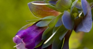The stunningly seductive cobalt and purple blooms of Cerinthe major purpurescens. Photo: Debbie Teashon, Rainysidegardens.com