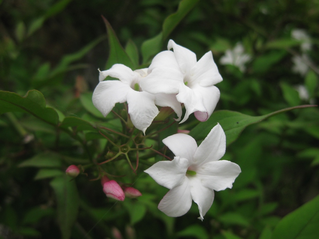Pacific Horticulture Society Hardy Fragrant Jasmine