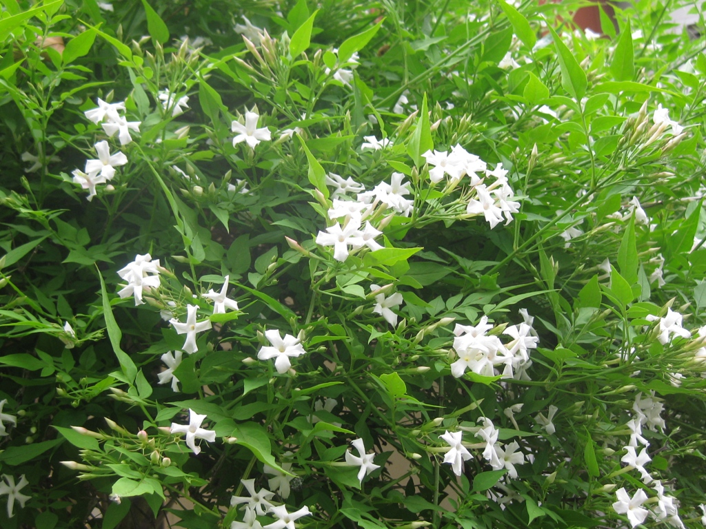 Pacific horticulture society hardy fragrant jasmine poets jasmine fills the summer garden with lush foliage and an abundance of fragrant blossoms photo paul bonine izmirmasajfo
