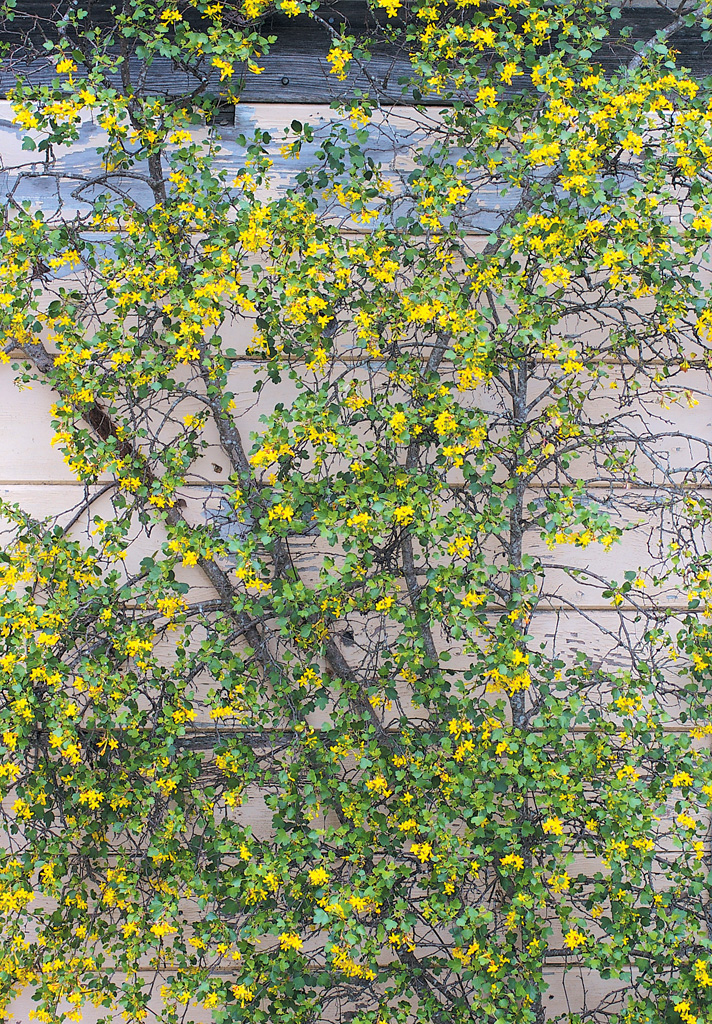 Pacific horticulture society a currant affair a loosely espaliered golden currant ribes aureum photographs by phil van soelen except as noted mightylinksfo