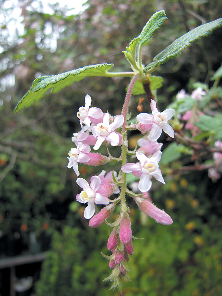 Pacific Horticulture Society A Currant Affair