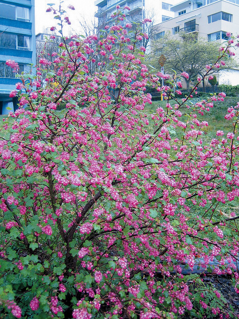 Pacific horticulture society a currant affair pink flowering currant mightylinksfo