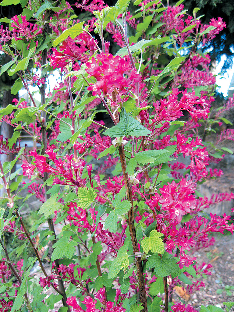 Pacific horticulture society a currant affair ribes sanguineum mightylinksfo
