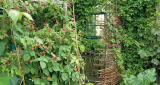 A woven screen of Cotinus stems hides Julie's workspace and supports tayberries (Rubus fruticosus x idaeus) and Akebia quinata