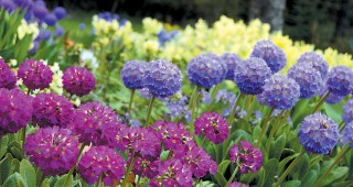 An array of drumstick primulas (Primula denticulata) at the Jensen-Olson Arboretum, Juneau, Alaska. Photo: Merrill Jensen