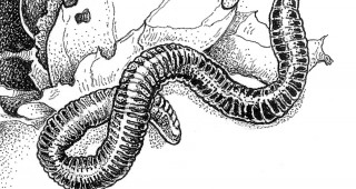Red Wiggler (Eisenia fetida). Illustrations by Craig Latker