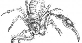 Pseudoscorpion. Illustration by Craig Latker
