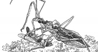 An assassin bug (Zelussp.)