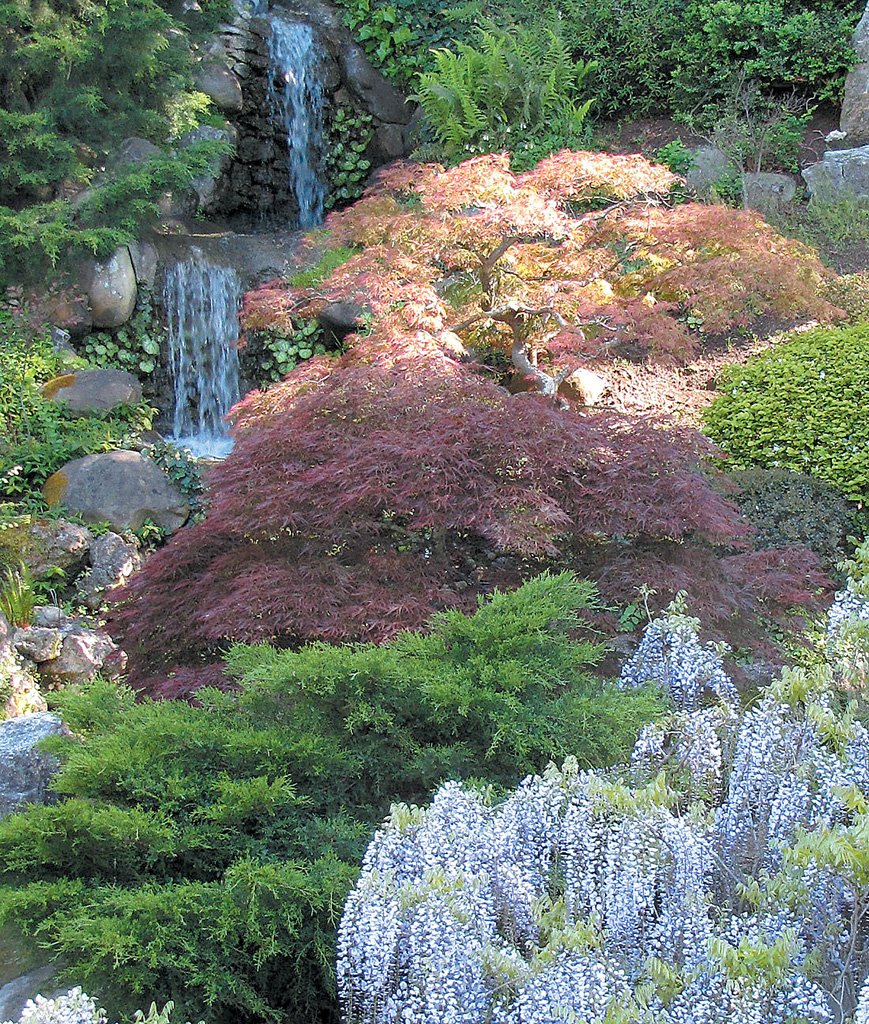 The Plum Colored Anese Maple Is Dense With Leaves Having Not Received Its Spring Pruning Peach Above It Lacy As A Result Of