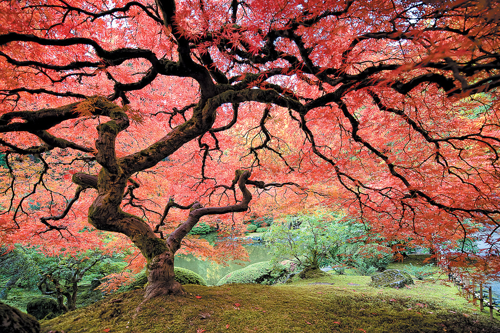 Pacific horticulture society revealing the essence of for Japanese maple tree