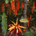 The amazing flowers and bracts of Heliconia rostrata behind a Croton cultivar in a lush Hawaiian garden.