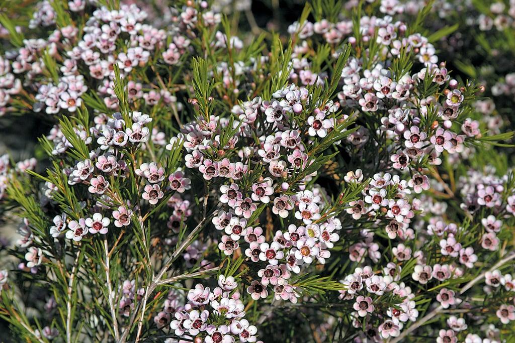 Pacific horticulture society australian shrubs geraldton wax flower mightylinksfo
