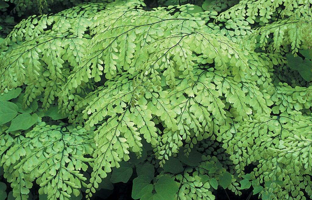 Himalayan Maidenhair Fern Adiantum Venustum
