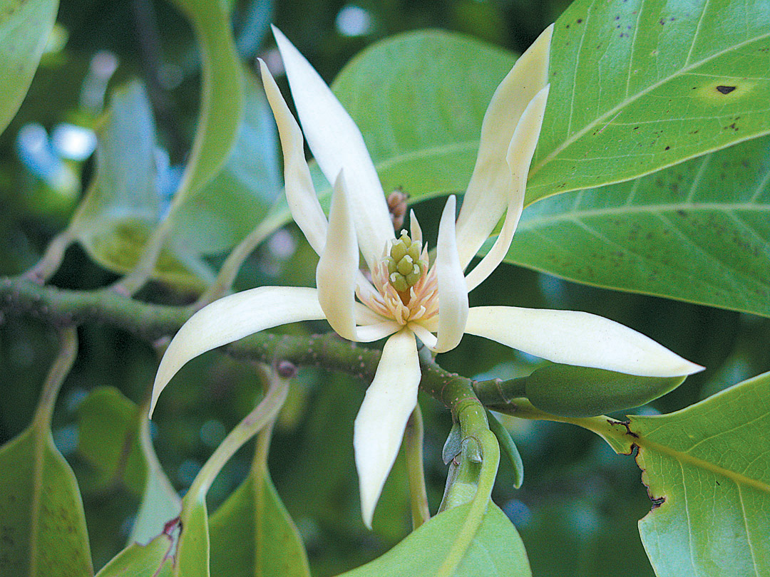 Flowers of Magnolia xalba. Photo: Matt Ritter
