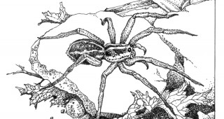 A Wolf Spider (Schizocosa mccooki) Illustrations by Craig Latker