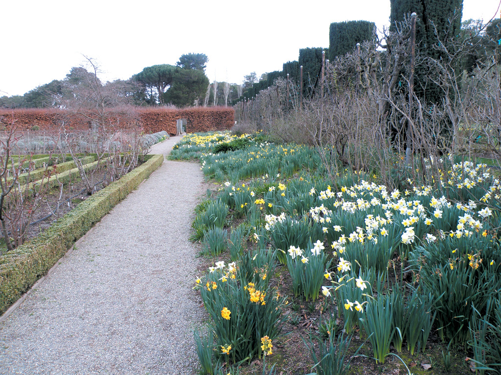Daffodils massed beneath lilacs (Syringa cultivars) in the dry border