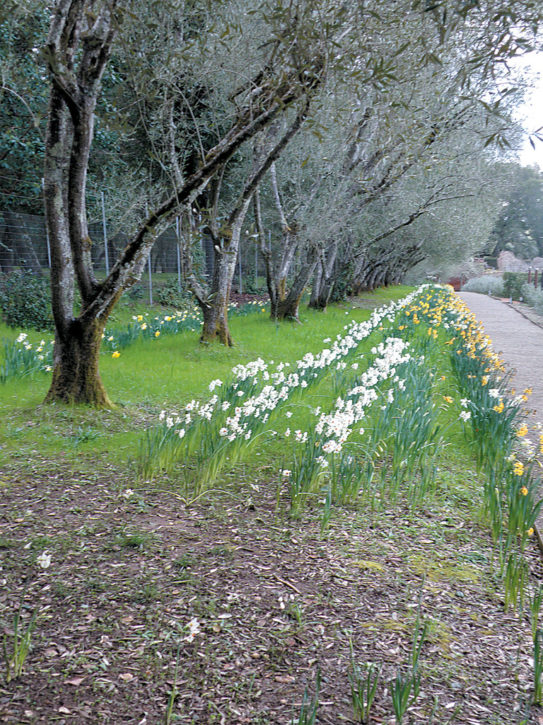 More daffodils along the olive walk. Author's photographs, except as noted