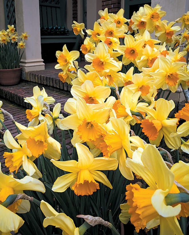 Large-cupped Narcissus 'Fortissimo' in containers at the entry to the cottage at Filoli. Photograph by Saxon Holt