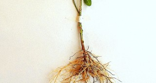 boxwood roots revised
