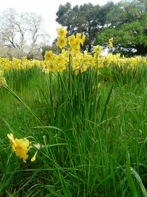 Closeup of daffodil 'Golden Dawn' showing its resilience growing among field grasses. Photo: Lucy Tolmach