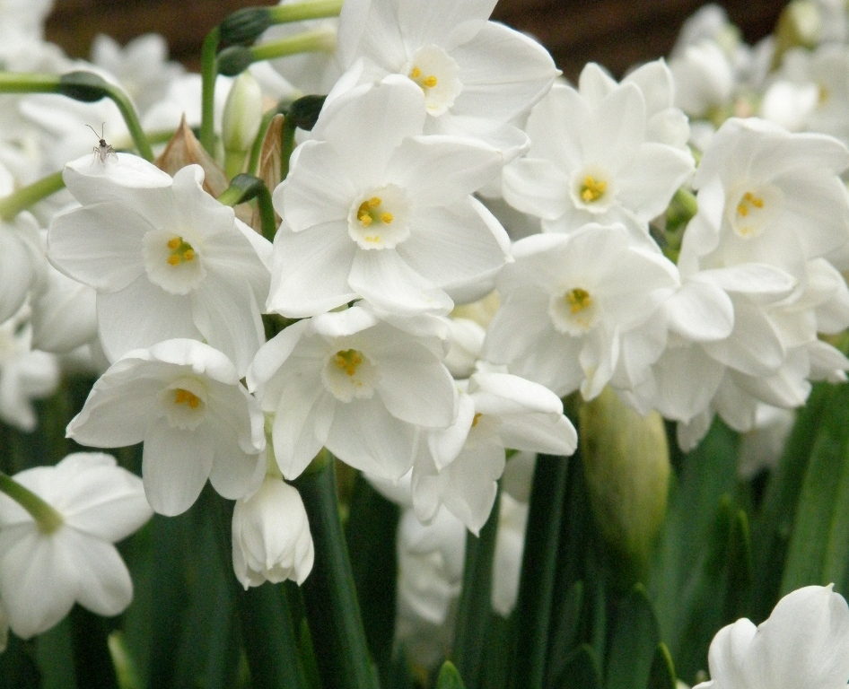 Pacific horticulture society drought tolerant daffodils glistening white daffodils mightylinksfo