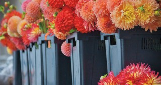 Buckets of blooms from Dan's Dahlias await purchase at the Seattle Wholesale Growers Market. Photo: David E Perry