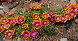 Fire Spinner ice plant (Delosperma 'P001S') makes a hardy, colorful, fire-safe groundcover. Photo: courtesy Plant Select