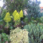 Aeonium canariense, A. 'Cyclops', and Aloe plicatilis. Photo: Robin Stockwell