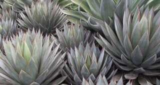 Agave-feature