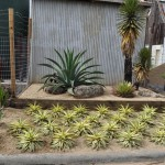 Clockwise from top: Agave weberi, Yucca valida, A. filifera, and A. 'Cornelius'. Photo: Robin Stockwell