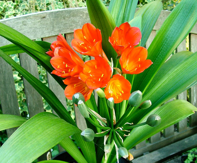 Pacific Horticulture Society Cultivating Clivia