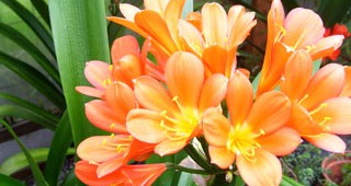 clivia-feature